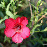 Lin rouge (Seine et marne)