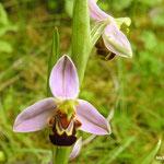 Ophrys abeille (bord de marne Vaires sur marne)