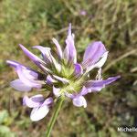 trèfle bitumineux ou sporalée à odeur de bitume (Auvergne)