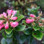 Escallonia Apple Blossom (Seine et marne)