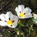 Ciste à gomme, ciste ladanifère  (parc naturel de Donana Andalousie)