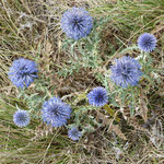 Chardons bleus (Saint May)