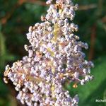 Gloire de Versailles ou lilas d'automne  (Seine et marne)