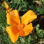 Pavot de Californie ou eschscholzia (Seine et marne)