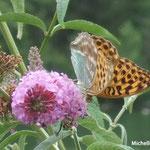 Buddléia davidii ou arbre aux papillons (Fontainebleau)