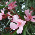 Laurier rose (Pyrénées orientales)