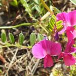 Gesse tubéreuse, Orobe  (parc naturel de Donana Andalousie)