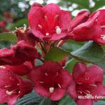 arbuste Weigélia Bristol Ruby (Seine et marne)