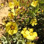 Hélianthèmes à feuille d'arrache ou ciste jaune  (parc naturel de Donana Andalousie)
