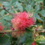 Galle de l'églantier (bédégar) provoquée par la piqûre du cynips du rosier  (Seine et marne)