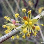 fleurs de Cornouiller  (Seine et marne)