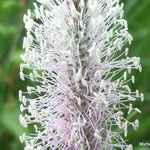 Plantain intermédiaire  détail  (Grimentz Suisse)
