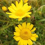 Chrysanthème des moissons (cap Gris nez)