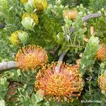 Protea  (Madère)