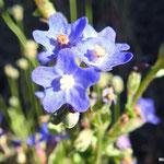 Buglosse d'Italie  (parc naturel de Donana Andalousie)