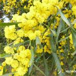Mimosa (Sicile)