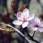 fleurs de Prunus  (Seine et marne)