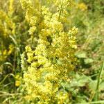 Gaillet jaune (Etalante Côte d'Or)