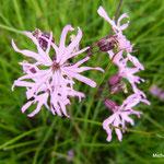 Lychnis fleur-de-coucou (Auvergne)
