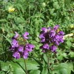 Brunelle à grandes fleurs (Mercantour)
