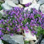 Linaires des Alpes (Grimentz Suisse)