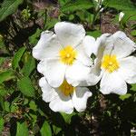 Ciste à feuilles de sauge  (parc naturel de Donana Andalousie)