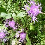 Centaurées jacées (Auvergne)