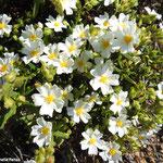 Ciste blanc (parc naturel de Donana Andalousie)
