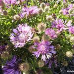 Centaurées pectinées  (parc naturel de Donana Andalousie)