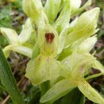 Orchis sureau détail  (Pyrénée orientale)