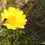 Chrysanthème des moissons (parc naturel de Donana Andalousie)