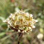 Fruits en akènes de la céphalère à fleurs blanche (Mercantour)