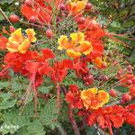 Fleurs de Caesalpinia pulcherrima (Madère)