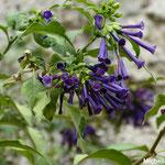Iochrome bleu originaire d'Amérique centrale (Seine et marne)