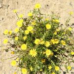 Chrysanthème couronné  (parc naturel de Donana Andalousie)