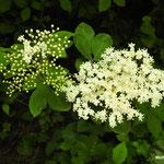 Fleurs de sureau   (Seine et marne)