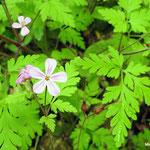 Géranium herbe à Robert (Seine et marne)