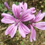 Mauve sylvestre (Mercantour)