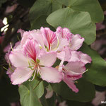 Arbre à fleurs d'orchidée Bauhinia variegata (Séville)