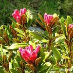 Rhododendron ferrugineux ou arbre à roses  (Grimentz Suisse)