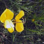 Joncier, genêt d'Espagne  (parc naturel de Donana Andalousie)