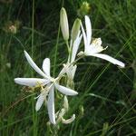 Phalangère à fleurs de Lis (Mercantour)
