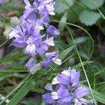 Polygale à feuille de serpolet (Auvergne)