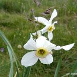 Narcisses des Poètes (tourbière de la Plaine Jacquot, Auvergne)