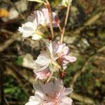 Prunus en fleurs (Seine et marne)