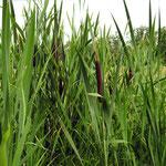 La massette à feuilles étroites (parc de Noisiel zone humide)