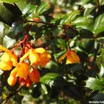 Berbéris à feuilles de houx (Seine et marne)