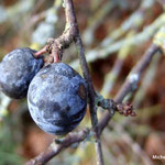 Prunelle (Seine et marne)