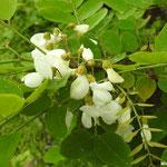 Robinier faux-acacia  (Seine et marne)