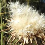 Akènes de chardon marie  (parc naturel de Donana Andalousie)